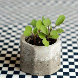 Rábano en Maceta de concreto Hoja Suelta