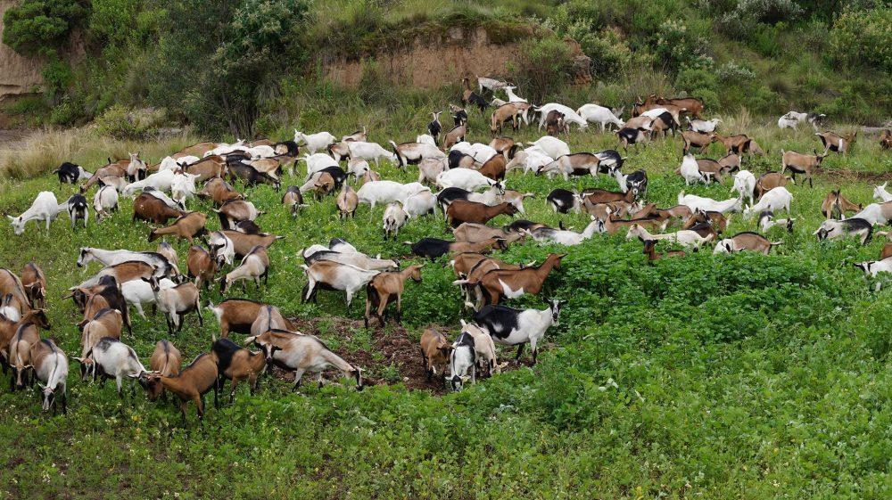 Cajeta de cabra